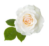 Rose of cream color. Stock Photography