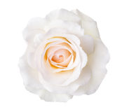 Rose. Royalty Free Stock Image