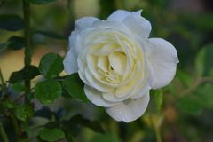 Rose Cream, White Flower. White with just a hint of yellow center, Cream phenotype Rose flower Royalty Free Stock Images