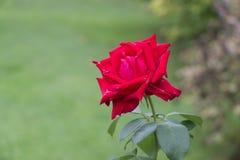 Rose. Crimson flower. Garden plants. stock photography