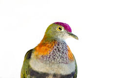 Rose Crowned Fruit Dove Against White Royalty Free Stock Photos