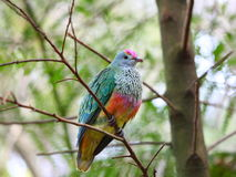 Rose-crowned Fruit Dove Stock Images