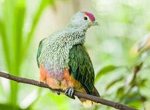 Rose-Crowned Fruit Dove Perching on a Branch. Rose-crowned Fruit Dove (Ptilinopus regina) perching on a branch in a garden stock image