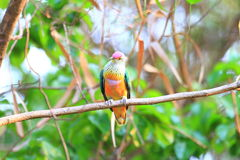 Rose-crowned Fruit Dove Stock Photography