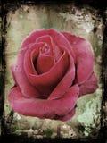 rose crunch Zdjęcia Royalty Free