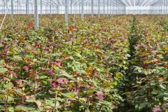 Rose cultivation in a Dutch greenhouse Royalty Free Stock Photography