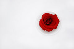 Rose on cup Stock Photography