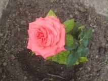 Rose. Cute pink rose Royalty Free Stock Photo