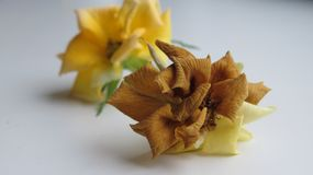 ` Rose défraîchi de Cordan de ` Image stock