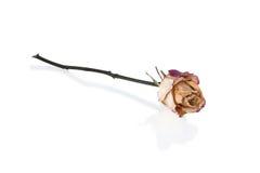 Rose défraîchie photo stock