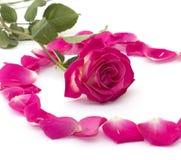 Rose d'écarlate au centre de cercle des lobes des roses Photo libre de droits