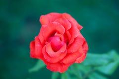 Rose d'écarlate au-dessus de fond vert dans un jardin Image stock