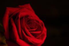 Rose d'écarlate sur un fond noir Photos libres de droits
