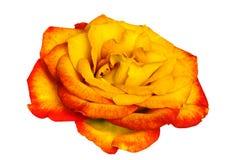 Rose d'or au-dessus de blanc Photographie stock libre de droits