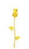 Rose d'or de vintage de tige et feuilles sur un fond blanc V Photographie stock libre de droits