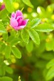 rose d'instruction-macro de crabot de bourgeon sauvage Photos stock
