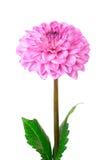 rose d'isolement par dahlia Images stock