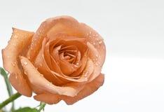 Rose d'orange d'isolement sur le fond blanc Photo stock