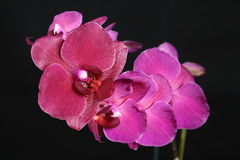 rose d'orchidée Photo libre de droits