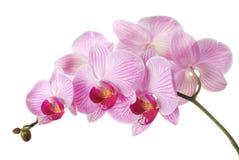 rose d'orchidée Photos stock
