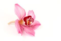 rose d'orchidée Photos libres de droits