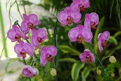 rose d'orchidée de mite de fleur Images libres de droits