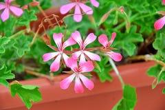 Rose d'usine de pélargonium en photo d'actions de boîte de lit de fleur image stock