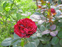 Rose with damp petals Royalty Free Stock Image