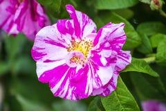 Rose dans des couleurs peintes Photographie stock libre de droits