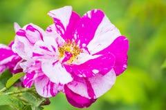 Rose dans des couleurs peintes Photos stock