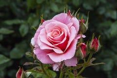 Rose dans des jardins de château de Hever Photo libre de droits