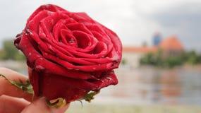 Rose dans des mains Photo stock