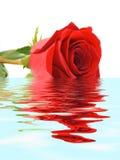 Rose dans l'eau Photo libre de droits