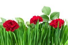 Rose dans l'herbe Image stock