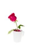 Rose dans l'isolat de tasse de café avec le chemin de coupure Image libre de droits