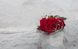 Rose dans la boue Image libre de droits