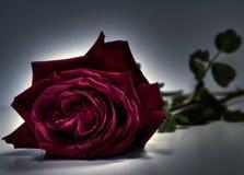 Rose dans la densité image libre de droits