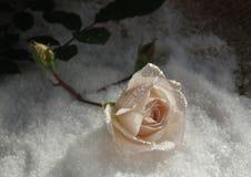 Rose dans la neige avec des baisses de rosée photos libres de droits