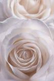 Rose dans la teinte rose douce Photographie stock libre de droits