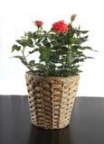 Rose dans le flowerpot photos stock