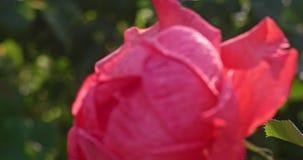 Rose dans le jardin éclairé à contre-jour, cru regardant la longueur banque de vidéos