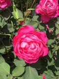 Rose dans le jardin image stock