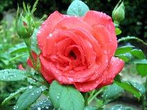 Rose dans le jardin Photos libres de droits