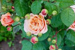 Rose dans le jardin photo libre de droits