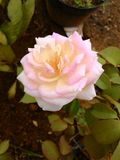 Rose dans le jardin Photo stock