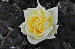 Rose dans le jardin Images stock