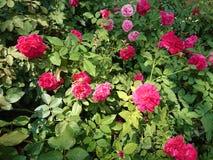 Rose dans le jardin Photographie stock