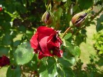Rose dans le jardin Photos stock