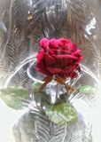 Rose dans le verre Photos libres de droits
