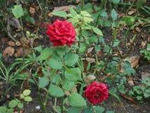 Rose dans le voyage images stock